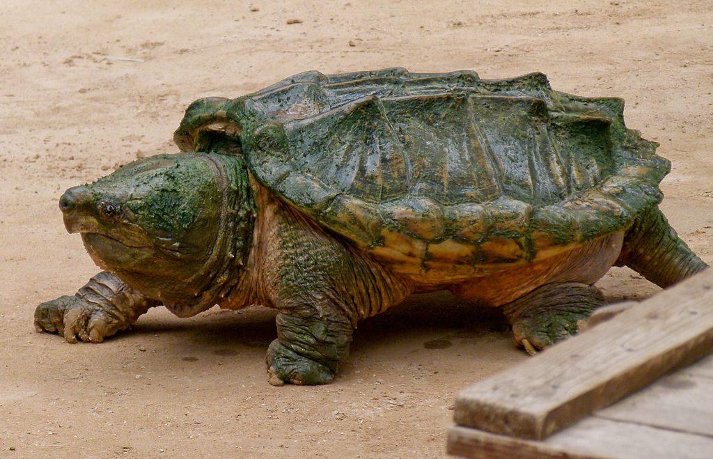 tortue alligator